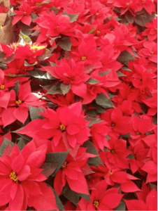 The 4 Ps of Christmas Poinsettia